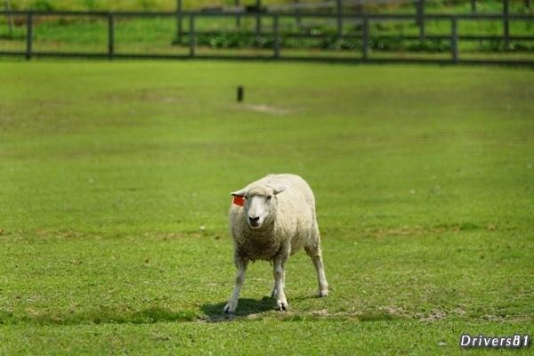 羊の戦闘態勢