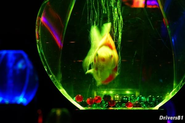 金魚の油断