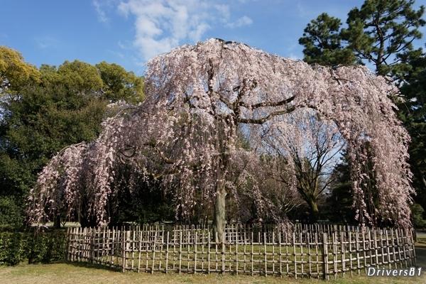 2016年京都一番桜。京都御苑の枝垂れ桜