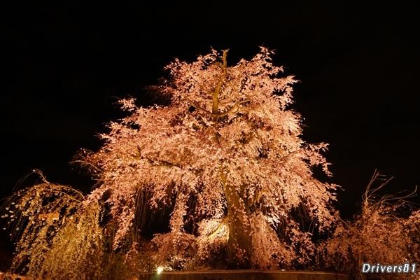 今年も変わらぬ円山公園 枝垂れ夜桜