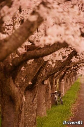 桜並木に飾られたロードバイク