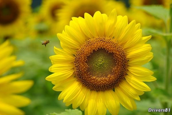 蜂とひまわり。目の前のひまわりに標的を定めた蜂。